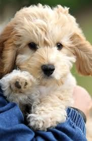 Our future puppy dog!