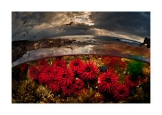 A Parallel Universe: These Half-Underwater Pics Show What Hides Beneath The Waves - RiseEarth: Crimson Tide: Waratah Anemones, Port Kembla, NSW Australia Ocean Underwater, Underwater Pictures, Under The Ocean, Underwater Photographer, Colossal Art, Parallel Universe, Alien Worlds, Scene Image, Water Photography
