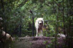 Wolf in Artis, by Jorinde Reijnierse Wolf, Cute Animals, Photography, Pretty Animals, Photograph, Cutest Animals, Fotografie, Wolves, Cute Funny Animals