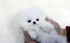Adorabe Little Teacup Pomeranian Puppy Teddy Bear - 23 Chubby Puppies Mistaken For Teddy Bears Corgi Puppies, Husky Corgi, Chubby Puppies, Teacup Puppies For Sale, Pet Puppy, Cute Puppies, Cute Dogs, Dog Cat, Pomeranian Puppy For Sale