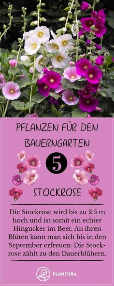 Plants for the cottage garden: Hollyhock. A cottage garden can be a real treat .club - Plants for the cottage garden: Hollyhock. A cottage garden can be a real treat … # - Garden Care, Garden Soil, Vegetable Garden, Garden Plants, Planting Plants, Gardening Tools, Garden Types, Diy Garden Projects, Diy Garden Decor