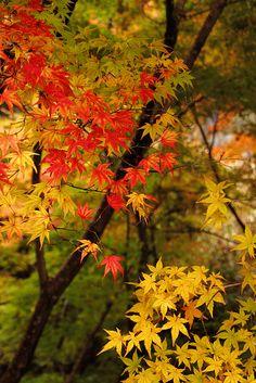 Maple Trees - Japan