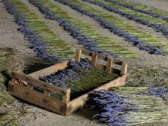 lavender - the drying process