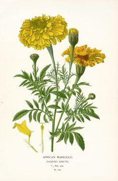 Edward Step Favourite Flowers Botanical Prints 1896