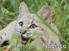 Meet new cat, Nabisco Bobcathttps://bigcatrescue.org/nabisco/Nabisco and 5 others arrived at Big Cat Rescue on Oct. 17, 2016 from Spirit of the Hills.  Find out more about the rescue here: https://bigcatrescue.org/spirit-of-the-hills/