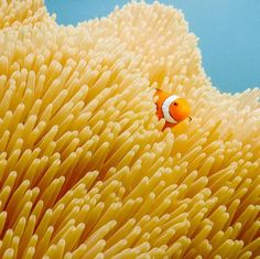Explore Tropical North Queensland · · Did you know: Anemone fish secrete a layer of mucus for protection from the lethal sting of the sea anemone that they inhabit.