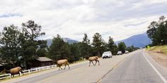 Why did the elk cross the road? -Rocky Mountains in Colorado