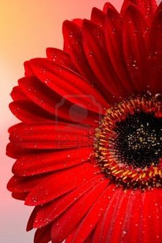 My favorite color, red! with a black center Pale Dogwood, Winter Color, Colors Of Fire, I See Red, Red Daisy, Lucky Colour, Flower Phone Wallpaper, Amazing Red, Simply Red
