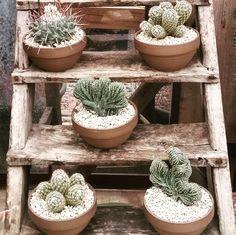 garden, cactus, pot, marginatocereus, thelocactus, mammillaria
