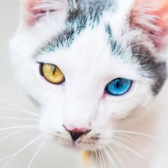 Heterochromia Iridum Heterochromia Iridis Pinterest - This is pam pam the kitten with heterochromia with hypnotic eyes you just cant stop looking at