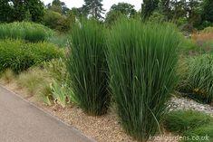 Panicum Northwind   Knoll Gardens   Ornamental Grasses and Flowering Perennials