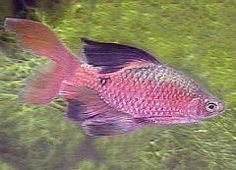 Long Finned Rosy Barb.