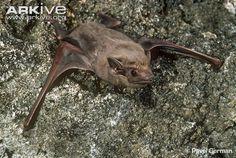 Brown-bearded sheath-tailed bat by Pavel German