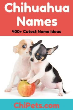 Over 400 of the Cutest Female Chihuahua Names - Chi Pets Chihuahua Names, Cute Chihuahua, Chihuahua Puppies, Baby Puppies, Cute Puppies, Cute Dogs, Teacup Chihuahua, Chihuahuas, Cute Puppy Names