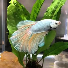 Excellent Exotic cars info are readily available on our web pages. look at this and you wont be sorry you did. Betta Fish Types, Betta Fish Tank, Beta Fish, Tropical Fish Aquarium, Freshwater Aquarium Fish, Beautiful Fish, Animals Beautiful, Siamese Fighting Fish, Aquarium Design