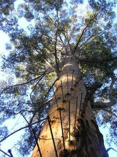 "Pemberton, Western Australia: Gloucester Tree fire lookout, the spikes spiral around the trunk and form the ""ladder"" to climb this huge tree. Visit Australia, Western Australia, Australia Travel, Places To See, Places Ive Been, Beautiful Beaches, Tourism, Scenery, Around The Worlds"