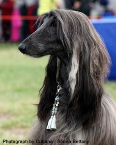 black and white afghan hounds   Afghan News from Altside Afghans and Cavaliers. Champion Breeders