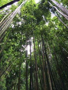 The bamboo forest of Manoa Falls, Oahu, Hawaii. Hike it with the kids, family friendly and close to Honolulu. thegoteros.com