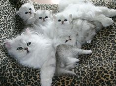 Silver Shaded persian babies ♥