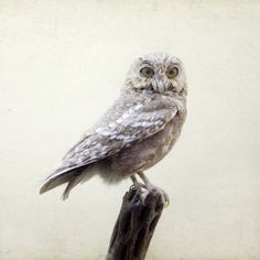 White Owl Print, Nature Photography, Bird, Simple Neutral Home Decor, Natural History, Minimal, Winter - Intelligent Design