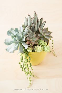 Container Gardening Try using the thriller, filler, spiller recipe to make a great succulent arrangement - Find out the best planting tips for succulent container gardens! You'll discover common mistakes to avoid when planting succulents in containers! Colorful Succulents, Hanging Succulents, Succulents In Containers, Cacti And Succulents, Hanging Planters, Cactus Plants, Succulent Gardening, Succulent Terrarium, Container Gardening