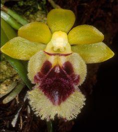 Orchid: Haraella retrocalla