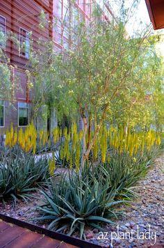 Tour of Sustainable Southwestern Landscapes: Part 1 - Beautiful aloe vera with palo blanco trees.