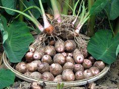 Se quer plantar este tubérculo na sua horta, nós explicamos tudo! #inhame #tubérculo #jardim #plantar #horta