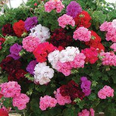 Vernon nursery ivy geraniums
