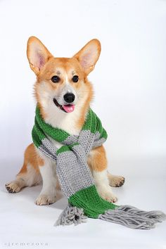 Corgis+ scarfs= my favorite things