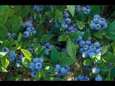 Blueberry cultivar Northcountry GREAT INFO on growing blueberries in Idaho Horticulture, Plants, Fruit Trees, Berries, Growing Blueberries, Blueberry Plant, Blueberry Bushes, Edible Garden, Garden