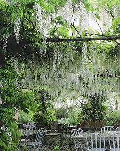 Cascades of white wisteria