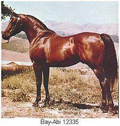 arabian_horses: 'This weeks horse': BAY-ABI