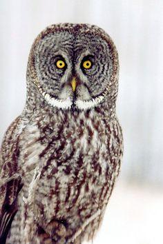Great Grey Owl Opal Alberta January 2005