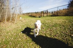 """we've updated our website featuring the photos of Hannah Stonehouse Hudson of """" John & Schoep"""" fame. http://www.homeforlife.org/whats_new.htm Here: our senior English Setter, Star, in our lower Meadow"""