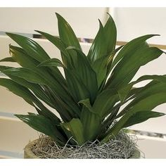 Janet Craig Dracaena In Plastic Pot Nursery West Indies Decor, Tropical Bathroom, Living Room Plants, Gazebo Pergola, Water Wise, Flower Pots, Flowers, Plastic Pots, Garden Spaces
