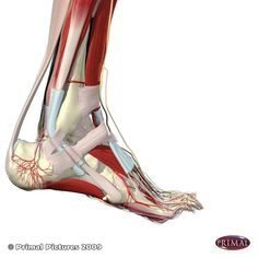 fascia over the sole & ball of the foot