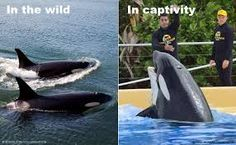 Image result for whales in captivity