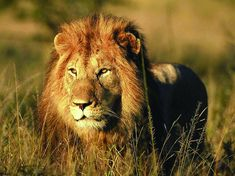 Men abduct and beat 12-year-old girl, don't realize 3 lions are watching her back