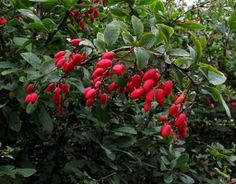 Barberry – What A Bush !