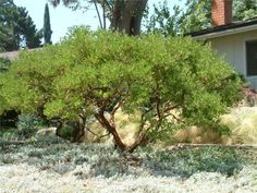 Plant photo of: Arctostaphylos densiflora 'Howard McMinn manzanita 3-6' shrub flower pink and white
