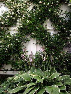 """HEDGE Garden Design & Nursery Summer scent - Chinese Star Jasmine espaliered in my garden paired with Hosta """"Francee"""" in summer & Hellebore """"White Magic"""" in winter."""