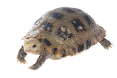 My Turtle Store: Baby Elongated Tortoises for sale