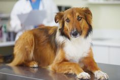 What do elevated liver enzymes in dogs indicate? And why are elevated liver enzymes in dogs sometimes baffling — even for your vet? Dog Health Care, Cat Health, Elevated Liver Enzymes, Cushing Disease, Sick Dog, Veterinary Medicine, Dog Names, Cat Breeds, Dog Owners