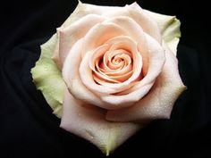 Sahara Rose (the perfect Dainty Light Pink). Affordable Wedding Flowers, Blush Wedding Flowers, Blush Roses, Light Pink Flowers, Cut Flowers, Spring Flowers, Sahara Rose, Rose Varieties, Fall Wedding