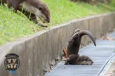Clumsy baby otter - Album on Imgur Cute Funny Animals, Cute Baby Animals, Animals And Pets, Wild Animals, Otters Cute, Baby Otters, Otters Funny, Baby Sloth, Otter Love
