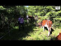 Lehmät laiduntavat vaaramaisemissa Sotkamossa