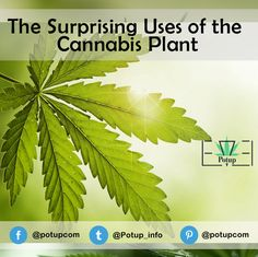 How much do you know about the cannabis plant? #Potup #cannabis