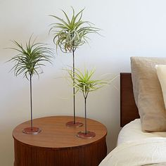 Bedside greenery: Keep tillandsias cradled in a perch for easy removal to water or rearrange.