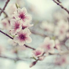 Beautiful cherry blossom. My favourite ♥